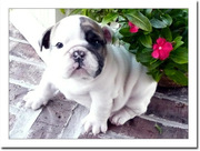Female English bulldog puppies for sale in caring home