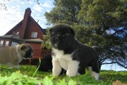 heartening Akita Puppies For Sale