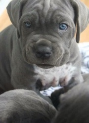 available Cane Corso puppies